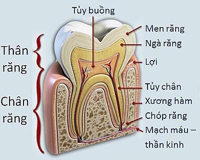 Tổng hợp những kiến thức cần biết về răng số 7