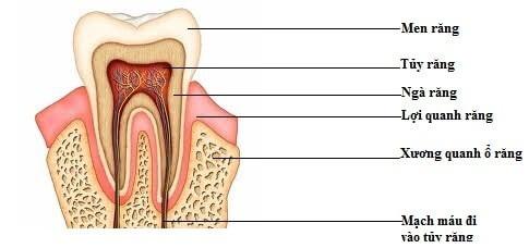 Cấu trúc bộ răng người như thế nào? Giải đáp từ chuyên gia 3